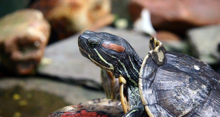 Las tortugas acuáticas son principalmente carnívoras.