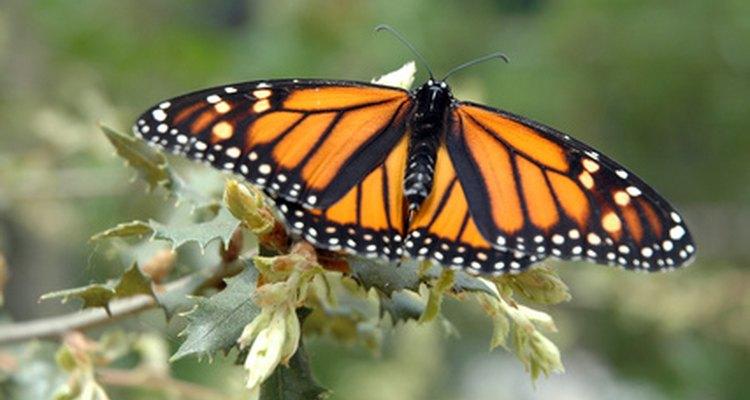 A borboleta Monarca é tóxica para seus predadores