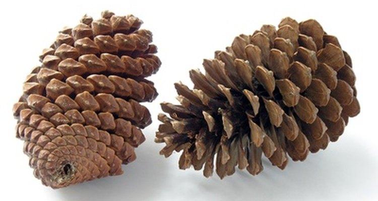 Cones são folhas modificadas que abrigam e protegem esporos e sementes.
