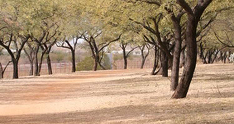 Perfectamente adaptado a su medio ambiente seco, el mezquite es un árbol resistente.