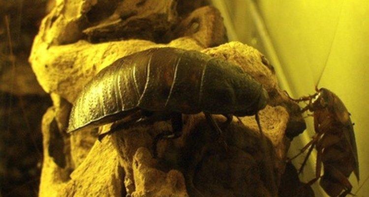 Las cucarachas pueden llevar bacterias a las despensas de alimentos y posiblemente infectar la comida expuesta.