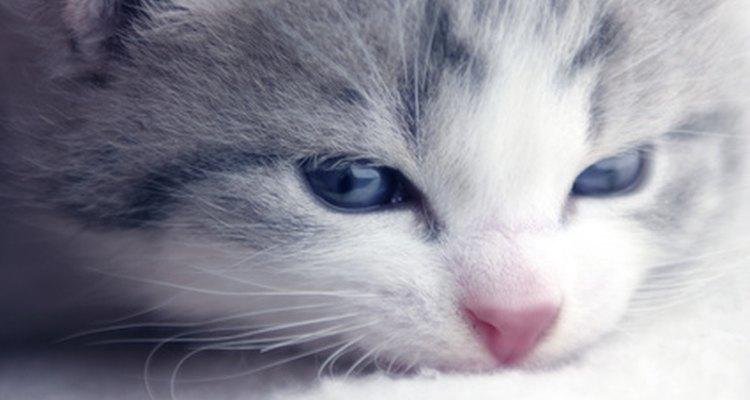 Os filhotes de gatos precisam de cuidados suaves quando são infectados por pulgas