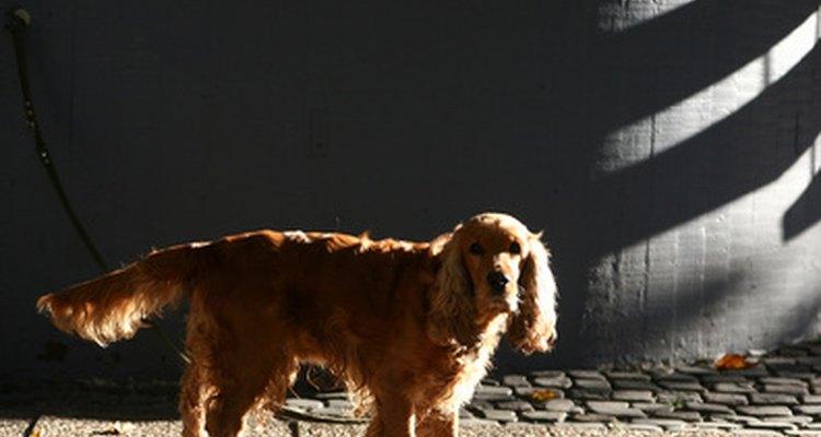 La compresión espinal es dolorosa para los perros.