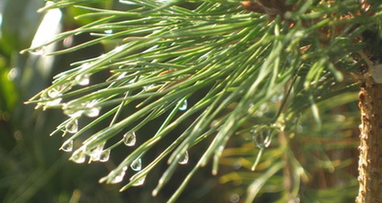 Conifers produce sturdy cones, a different method of reproduction than flowering plants.