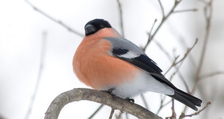 The male bullfinch has a bright orange-red to salmon breast and cheeks.
