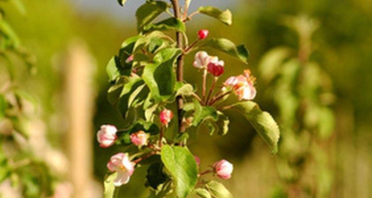 Uma árvore nova de maçã floresce e cria galhos