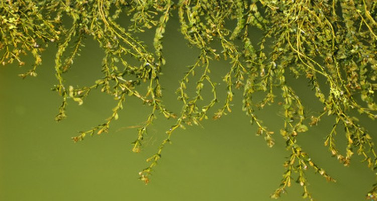 Many aquatic plants have air sacs that allow them to float.