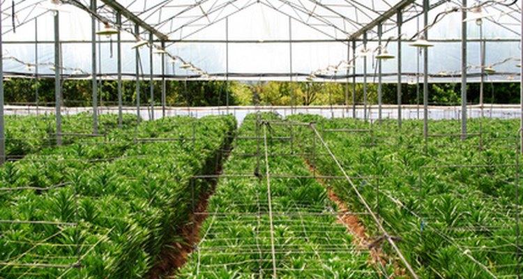Los invernaderos utilizan medios de cultivo sin suelo.