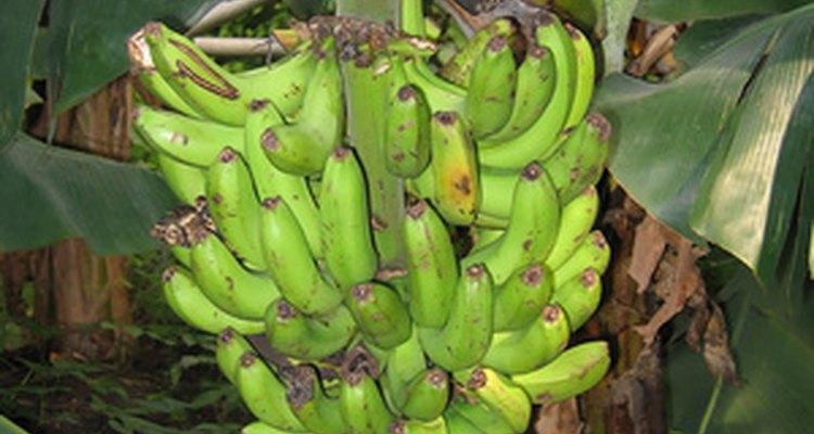 Las plantas de banano son plantas populares de interiores.