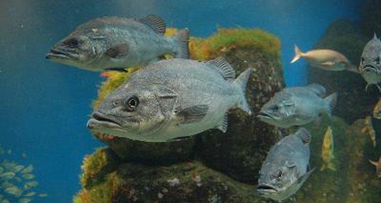 Mientras más comida ingiera un pez, más excrementos generará.