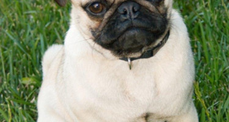 Hay un debate en curso aderca de los origenes del mini bulldog; algunos creen que tiene rastros de pug.
