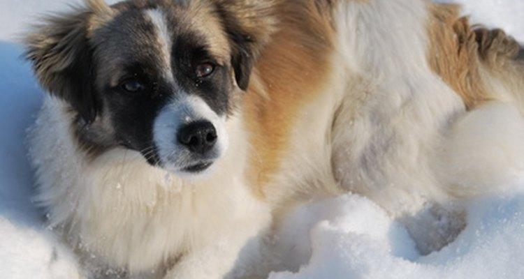 El corazón de un perro puede ser muy frágil.