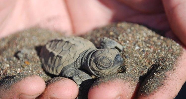 Las playas de Panamá están anidando a algunas de las especies de tortugas más exóticas.