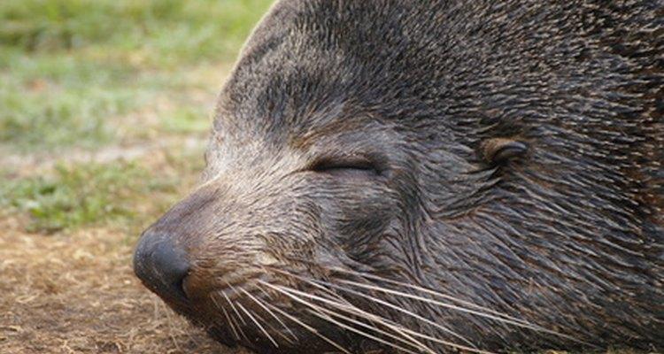 La piel del lobo marino era altamente codiciado, lo que lo llevo cerca de la extinción.