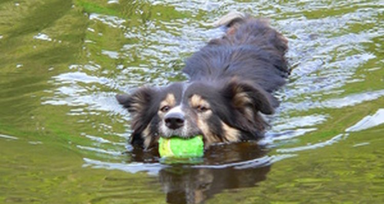 Dogs love the water, but their ears don't.