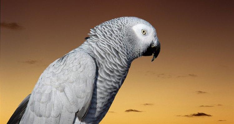 A caspa produzida pelo papagaio pode causar alergia em humanos