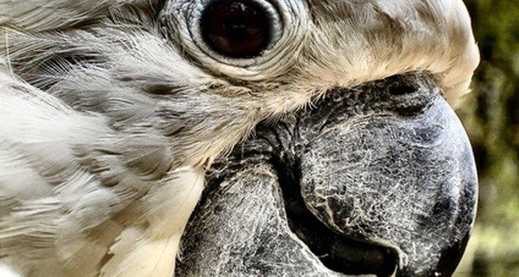 Problemas oculares em papagaios normalmente são apenas sintomas de condição muito mais grave