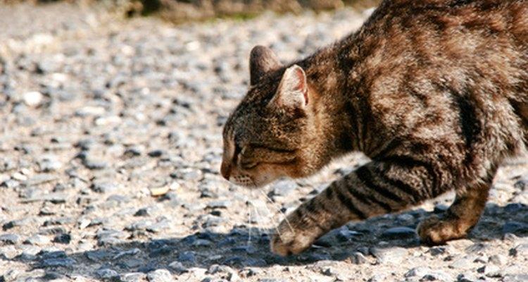 Revisa a tu gato durante 15 a 20 minutos.