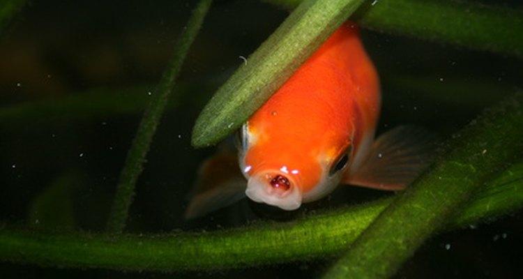Los peces dorados alcanzan la madurez sexual aproximadamente a los nueve meses de su nacimiento.