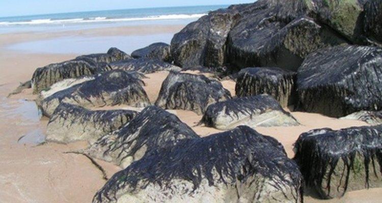 As algas podem ser multicelulares, como a alga marinha