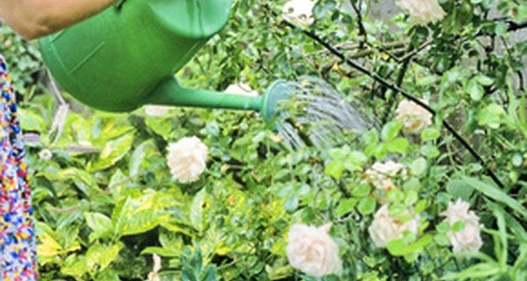 Plantas con riego excesivo pueden sufrir la pérdida de color.