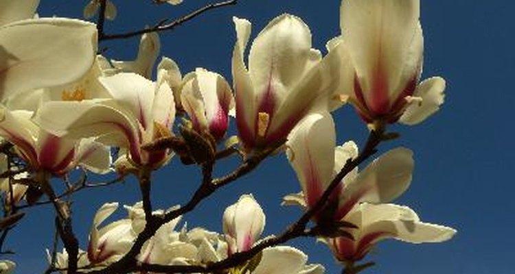 Cuando el magnolio florece es un presagio de que la primavera finalmente ha llegado.