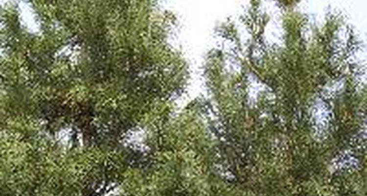 """Sólo los """"falsos"""" árboles de cedro son nativos de Estados Unidos."""