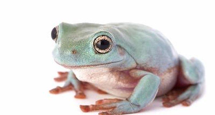 La rana puede sobrevivir tanto en la tierra como en el agua.