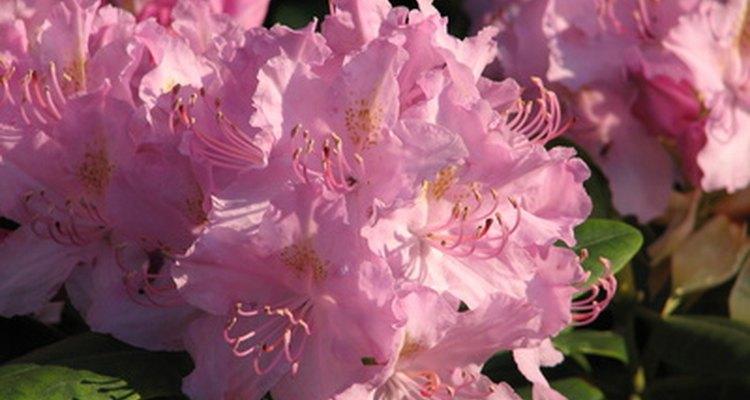 La poda mejora la salud y la apariencia de los rododendros.
