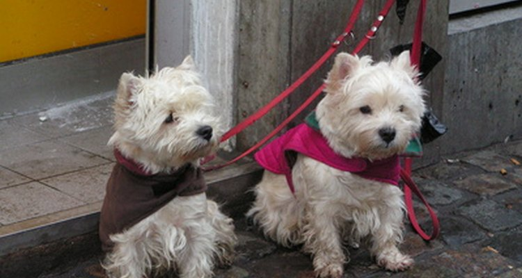 Inseminação canina pode ser feita em casa