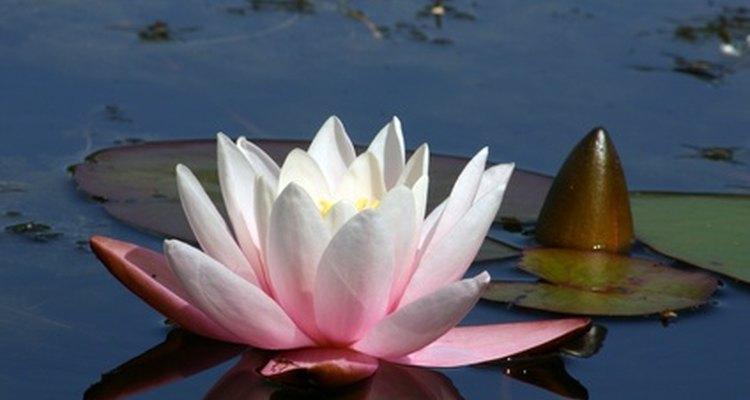 Las flores de lirio de agua pueden ser de color rosa, amarillo o blanco.