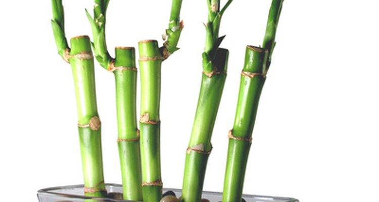 Apoie o bambu da sorte com seixos quando estiver cultivando-o em um vaso