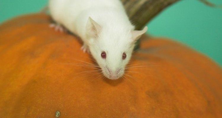 Os ratos brancos se reproduzem com mais frequência do que os de outras cores