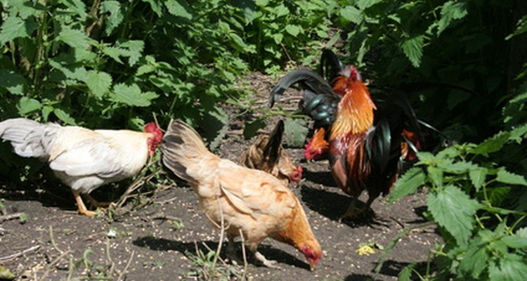 Free-range chickens will obtain sufficient grit from the soil.
