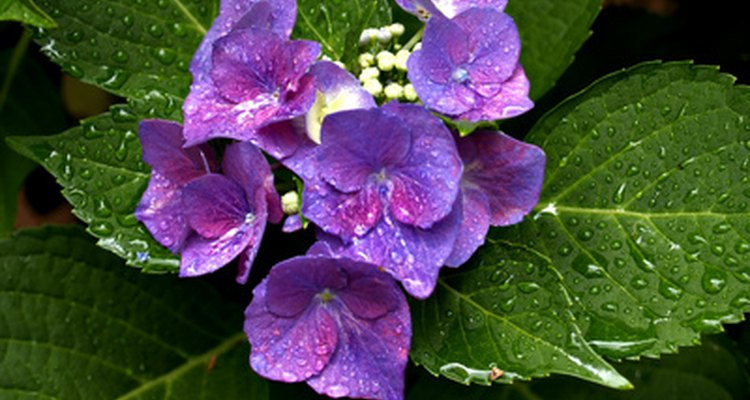 Hydrangeas like moisture, but avoid getting foliage wet to prevent disease.
