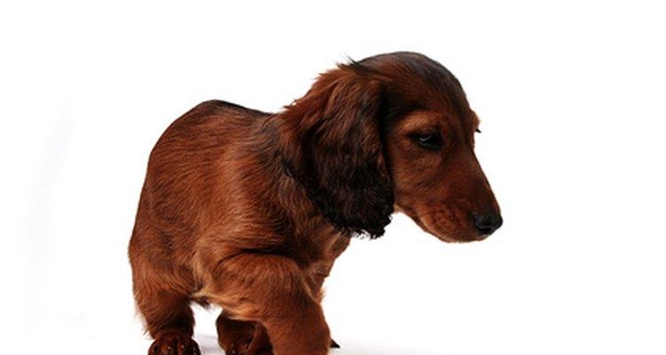 Los Dachshund pueden sufrir de la enfermedad de disco intervertebral.