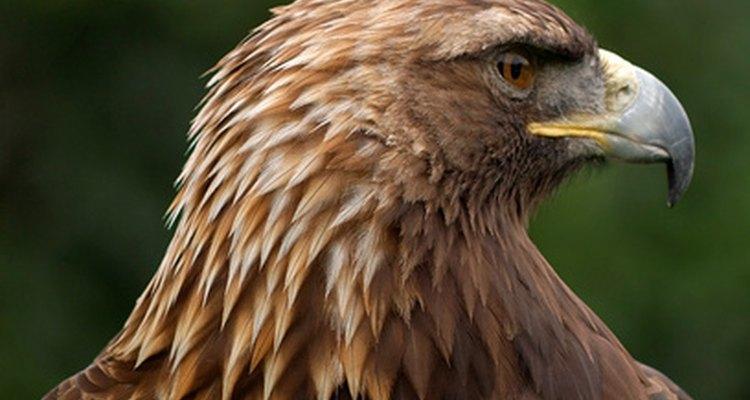 A nobre e severa águia-real é uma das maiores aves de rapina