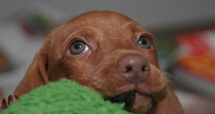 Cão com olho de cereja