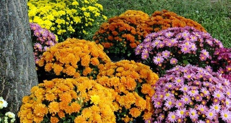 Los crisantemos son un signo de longevidad en la cultura japonesa.