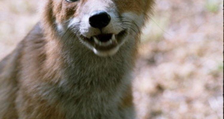 Mantenha raposas longe do seus animais de criação e domésticos