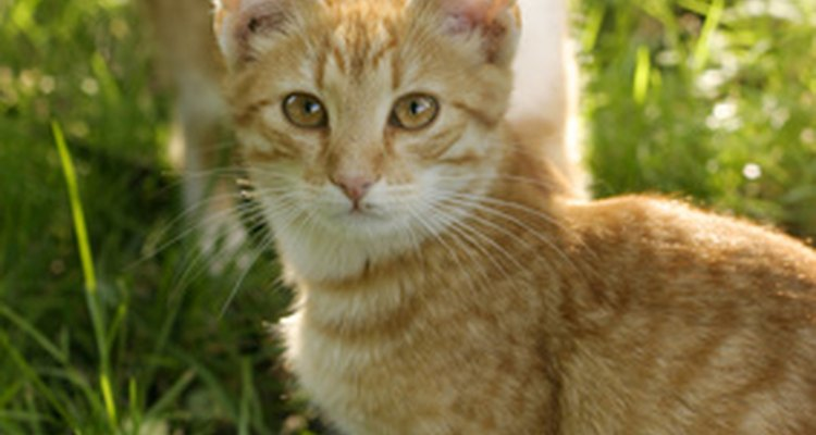 Chacoalhar a cabeça constantemente pode ser incômoda tanto para os gatos quanto seus proprietários