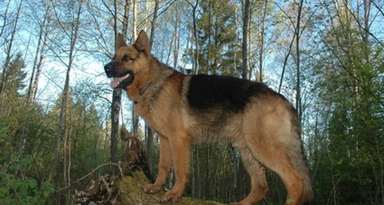 German shepherds are among the most well known dog breeds.