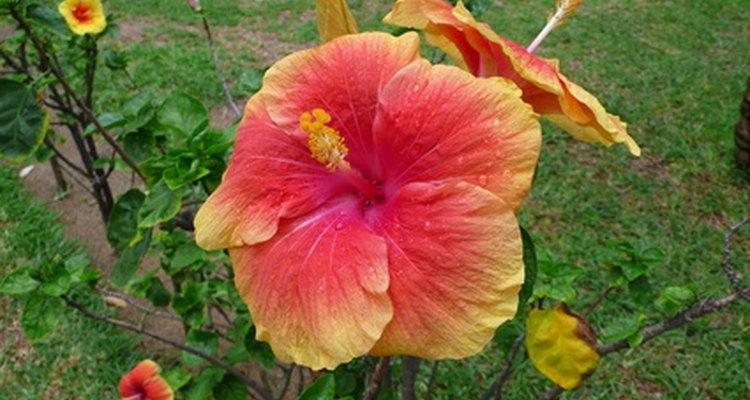Impresionante hibisco de jardín.
