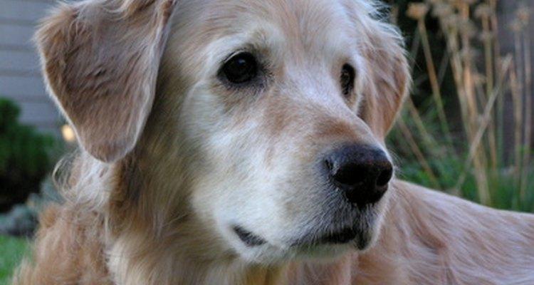 Um labrador golden é um híbrido ideal para cachorro de assistência