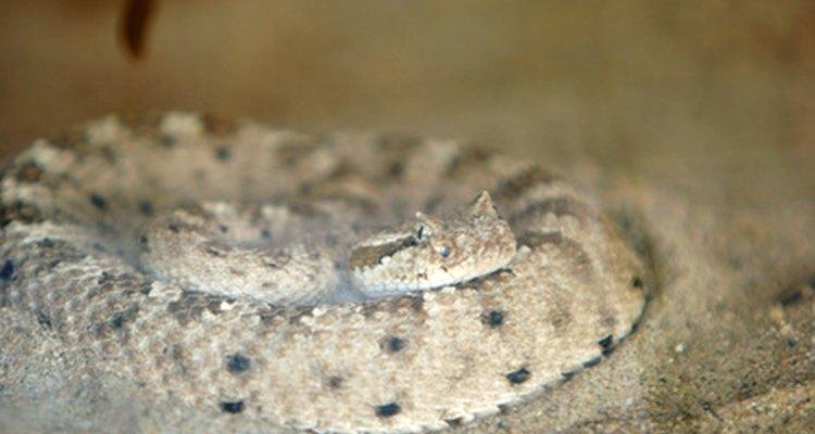 Las serpientes de cascabel cornudas están única y perfectamente adaptados para vivir en desiertos.