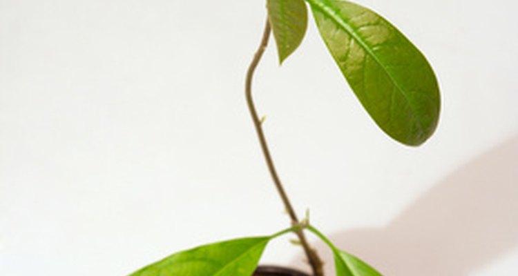 A maioria dos abacateiros comerciais e de paisagem é propagada por enxertia e não por sementes