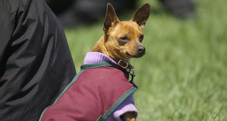 Es fácil hacer ropa pequeña para los perros chihuahua.
