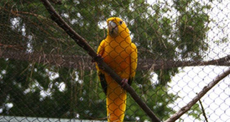 Colares elizabetanos podem impedir as aves de arrancarem suas penas