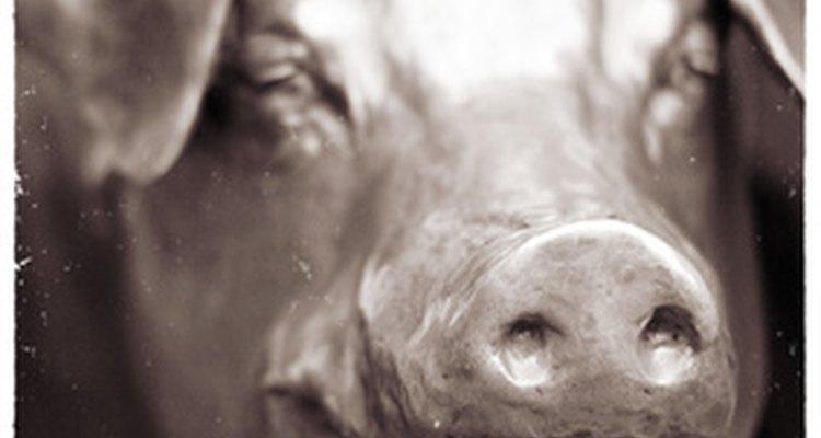 Castrar un cerdo grande puede ser extremadamente difícil.