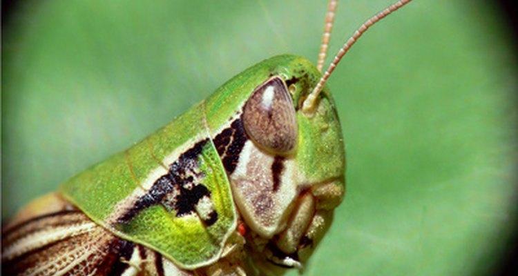Na cabeça dos gafanhotos são encontrados os grandes olhos, as antenas geralmente curtas, as mandíbulas de mastigação e o prototórax em forma de placa
